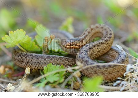 Smooth Snake - Coronella Austriaca  Species Of Non-venomous Brown Snake In The Family Colubridae. Th