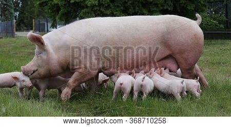 Healthy Young Pigs Grazing On The Green Meadow Summertime