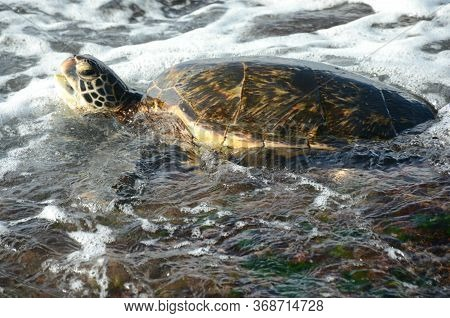 Striking Closeup Of A Pacific Green Sea Turtle Swimming In Roiling Surf, Off The North Shore Of Oahu