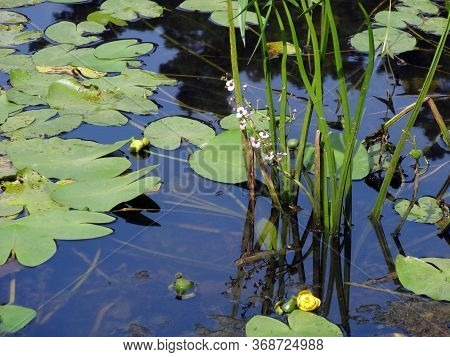White Water Flowers Arrowhead, Water Lilies, Leaves And Reflections