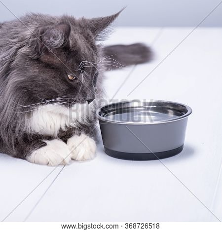 A Pedigree Cat With Beautiful Yellow Eyes, Lies On A White Floor, At A Bowl Full Of Pure Water.