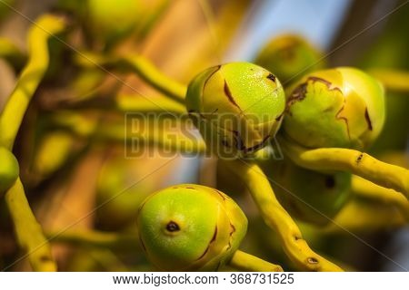 Fresh New Born Baby Coconuts On A Coconut Tree Plantation.cluster Of Fresh Baby Coconut Palm Fruits