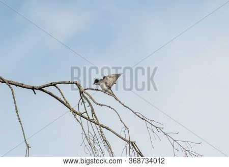 Eastern Kingbird Perching On The Branch.  Vancouver Bc Canada