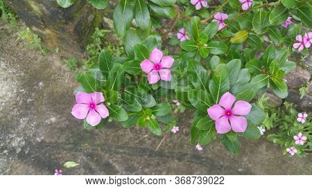 Beautiful Rose Periwinkle Flowers In Sunlight Closeup-i Went To Birampur, A Small Town Of Dinajpur D