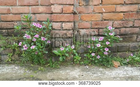 Beautiful Rose Periwinkle Flowers In Sunlight-in 2017 I Went To Birampur, A Small Town Of Dinajpur D