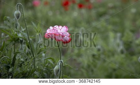 Pink Poppy.poppy Buds Blossom.in The Garden Blossom Poppies.green Poppy Buds.flower Against Green Fi