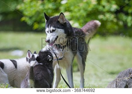 A Purebred Mother Husky With Puppies. Close Up