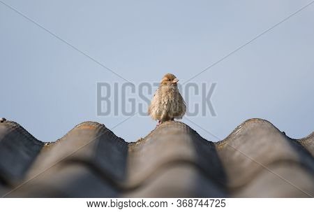 Sparrow Sitting On The Roof Top. A Close Up