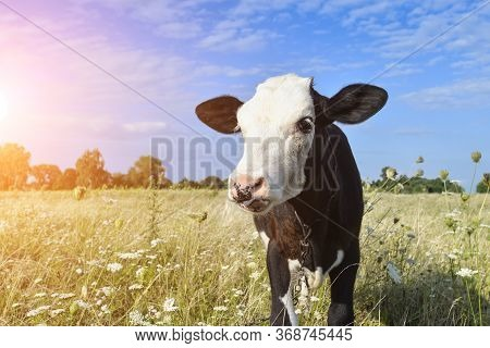 The Portrait Of Funny Spotted Cow On The Background Of Green Field And Sun Flare. Beautiful Funny Co