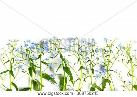Scorpion Grasses Or Myosotis Closeup On A White Background, Blue Flowers With Greenery, Isolate. Flo