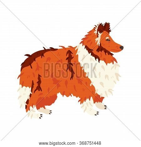 Collie Long Haired Breed Dog Flat Vector Illustration. Grooming Fan And Pet Care Concept. Red, White