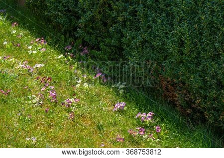 Garden Hybrids Of Primula In Pastel Shades On A Meadow Next To A Privet Hedge On A Sunny Day In Spri