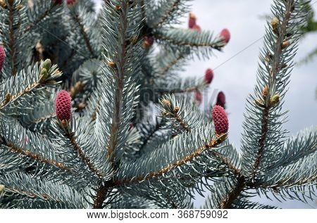 Pine cones on branches. Brown pine cone of pine tree. Growing cones close up. Larch cones growing in row on branch with needles. Fresh fruits of coniferous tree