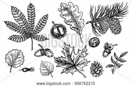 Autumn Sketch Set With Leaves, Berries, Fir Cones, Nuts, Mushrooms And Acorns. Detailed Forest Botan