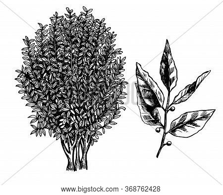 Bay Laurel Tree, Branch And Leaves. Ink Sketch Isolated On White Background. Hand Drawn Vector Illus