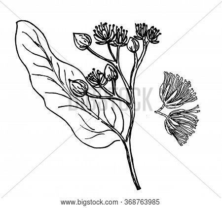 Sketch Vector Linden Sprig. Linden Tree Branch With Flowers. Floral Vintage Hand Drawn Style Illustr