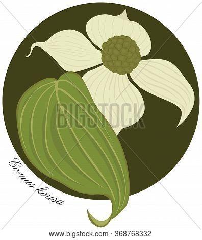 Illustration Of Flowering Dogwood Flower An Leaf - Latin Name Cornus Kousa