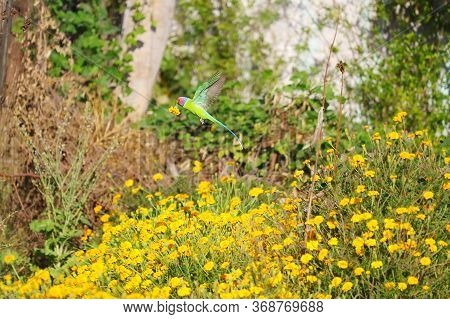 A Red Headed Parrot Flying To Carry Yellow Marigold Flower In The Home Garden, Parrot Image