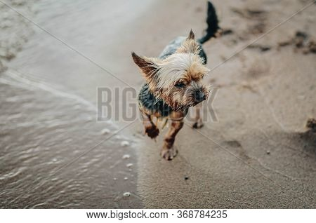 Yorkshire Terrier On The Seashore Closeup, Puppy On The Wet Sand
