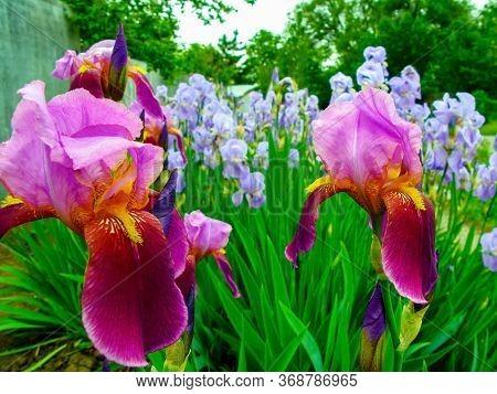 Blue And Purple Iris Flowers Grow In The Garden. Purple Iris Flowers Close-up. Beautiful Natural Bac