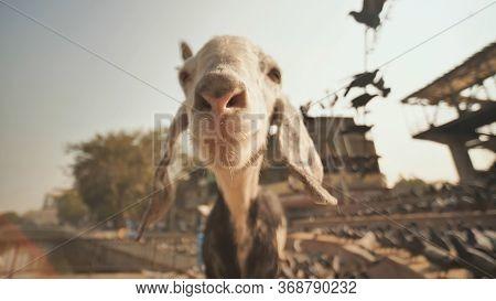 Funny Lamb On The Streets Of Mumbai. Head Close Up.