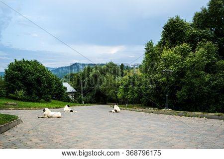 The Bucovina Shepherd Dogs. Big Security Shepherd Dogs.