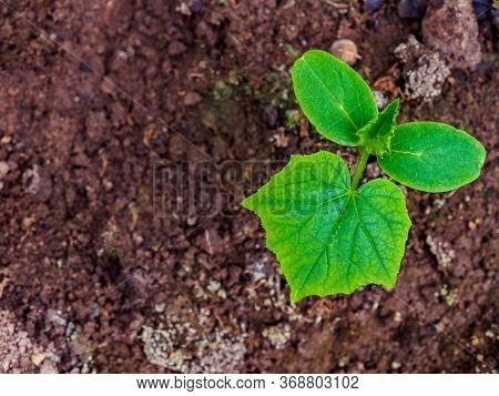 Flat Lay. The First Green Leaves Of A Cucumber Sprout In Moist Soil. Cultivation Of Organic Vegetabl