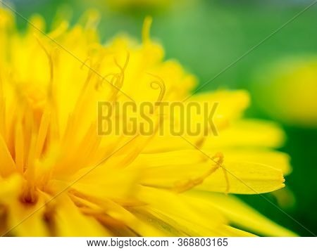 Selective Focus On The Stamens Of A Yellow Dandelion. Golden Petals With Particles Of Yellow Pollen.