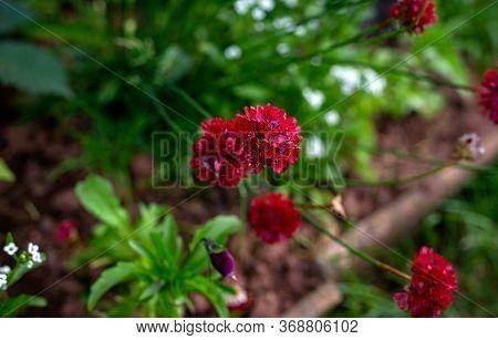 Armeria Maritima, Sea Thrift, Red Flowers Bloom In Summer Cottage Garden