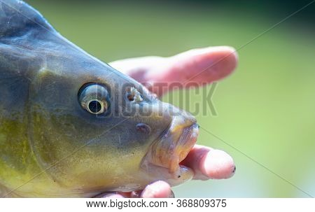 Closeup Image Of A Carp Being Held By A Fisherman