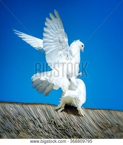White Doves Mating On Top Of The Roof