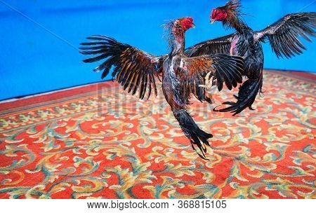 Chickens Fight For The Honor Of Chickens, Cock Fighting