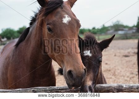 Horse Farm. Family Of Horses, Brown Horses Walk In The Back.