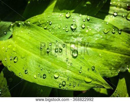 Water Drops On Fresh Green Leaf, Spring Morning Dew