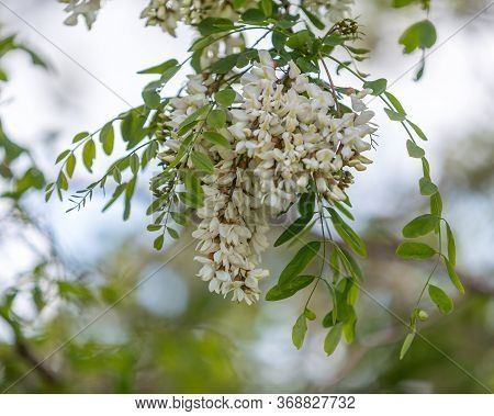 Acacia In Bloom, Acacia Flowers, White Flowers Of Acacia Tree At Spring