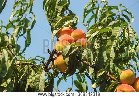 Ripe Peach On Tree.peaches On The Tree Close Up. Fresh Fruit Health Benefits Concept. Ripe Peaches I