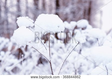 Snow Covered Dry Flower Stock Photo.dry Plants In Snow, Meadow At Winter.snowflakes On Dry Flower, B