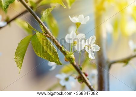 Apple Tree Blossom. Blooming Apple Tree In The Sunlight.flowers Of Apple With Green Leaves Against T