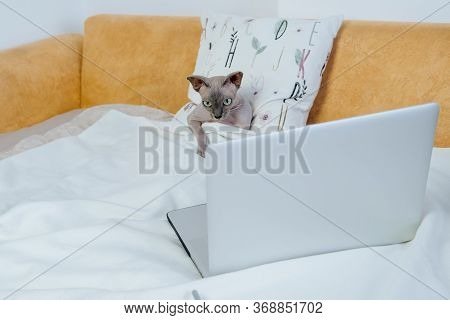 Cute Sphinx Daenerys Lying On The Bed And Watching Online Tv Series At Home During Pandemic.