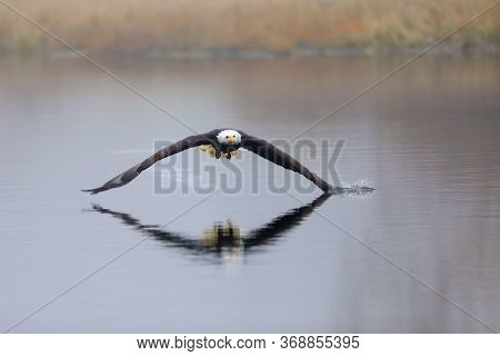 The American Bald Eagle Is A Symbol Of Power, Strength, Freedom And Wilderness In America. Haliaeetu