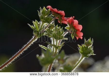 Nepal Cinquefoil - Potentilla Nepalensis  Backlite With Late Sun Showing Hairy Stems