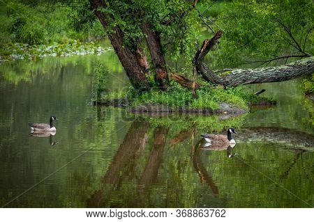 A Beautiful Natural Landscape With A Pair Of Canada Geese Peacefully Swimming Along.