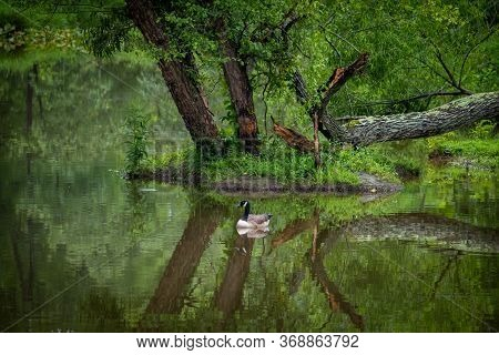 A Beautiful Natural Landscape With A Single Canada Goose Peacefully Swimming Along.