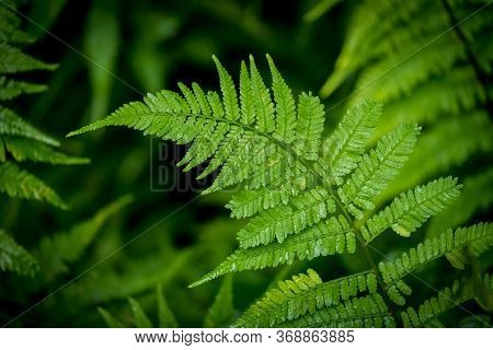 A Glistening Fern In The Rain Makes For A Nice Green Leafy Background. North Carolina.