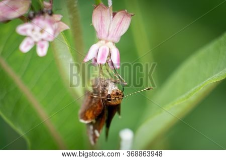 Front View Of A Female Zabulon Skippier Feasts On The Sweet Nectar Of Amilkweed Bloom.