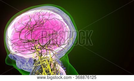 The Human Brain Is The Central Organ Of The Human Nervous System, And With The Spinal Cord Makes Up