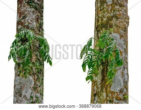 Jungle Tree Trunk With Tropical Foliage Plants, Climbing Monstera (monstera Deliciosa) And Forest Or