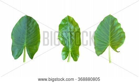 various kinds, collections Large heart shaped green leaves of Elephant ear or taro leaf (Colocasia species) the tropical foliage plant isolated on white background, clipping path included,