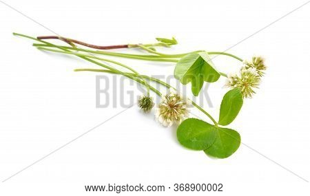 Trifolium Repens, The White Clover Also Known As Dutch Clover, Ladino Clover, Or Ladino. Isolated