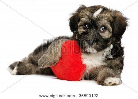 Lover Valentine Havanese Male Puppy Dog
